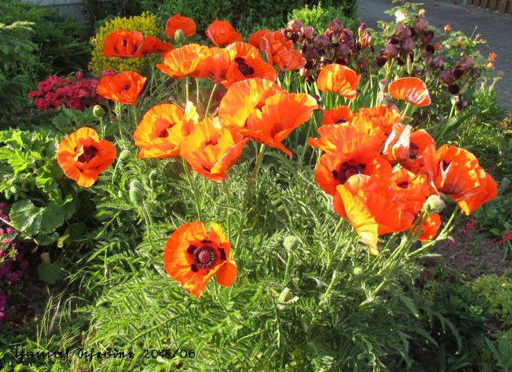 Mohnblumen in unserem Vorgarten. Juni 2015