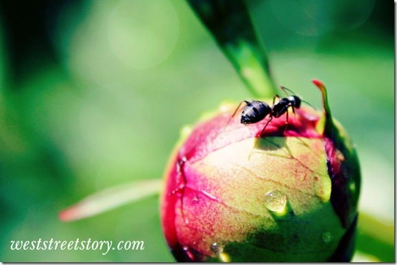 Black carpenter ant on a peony bud