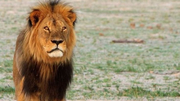 Cecil the lion, star attraction at Hwange National Park, was shot, stalked for 40 hours, shot again, beheaded and skinned by poachers in June 2015. Now they will have to kill his cubs as well, in order to introduce a new male to his pride.