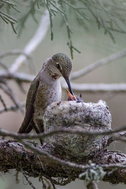 Hummingbird and babies in nest - super cool considering how small the hummingbird is
