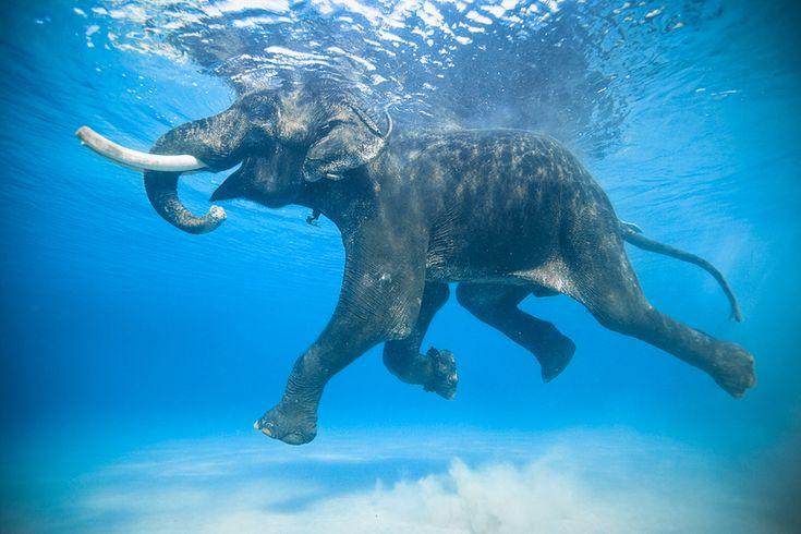 Elefant, schwimmend