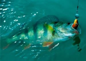 Рыбалка видео: Ловля окуня