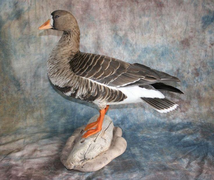 Specklebelly Goose | Specklebelly Goose