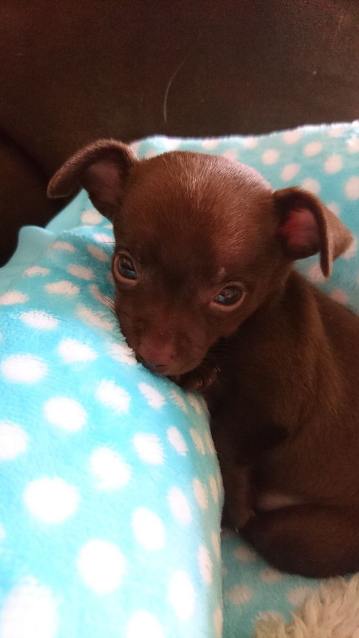Lilah the Chihuahua