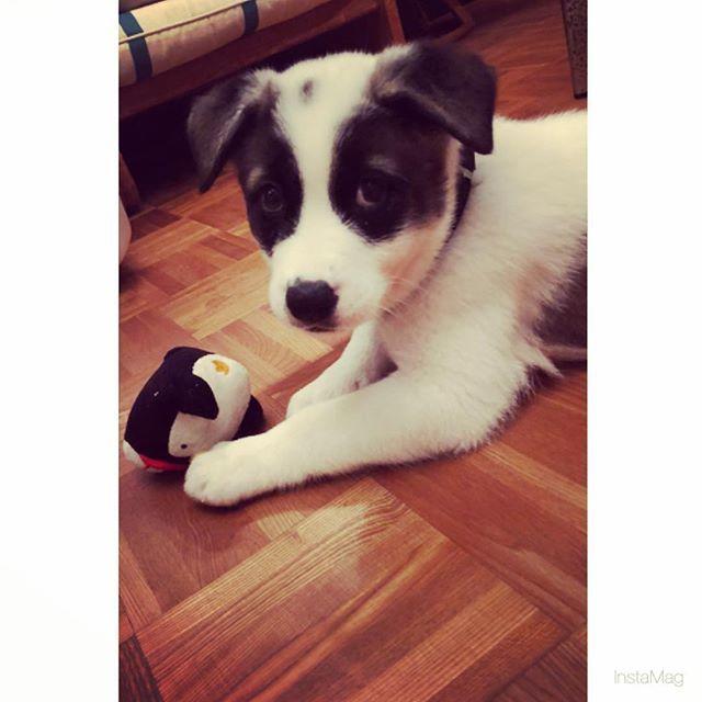 かわい〜(T_T)♡ 掃除とか大変やけど癒される🤤💕 #愛犬#オセロ
