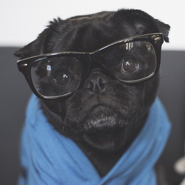 This week's pug photo challenge on #thepugdiary is all about the nerds. So let's see some cute nerdy pug photos tagged #tpdnerds