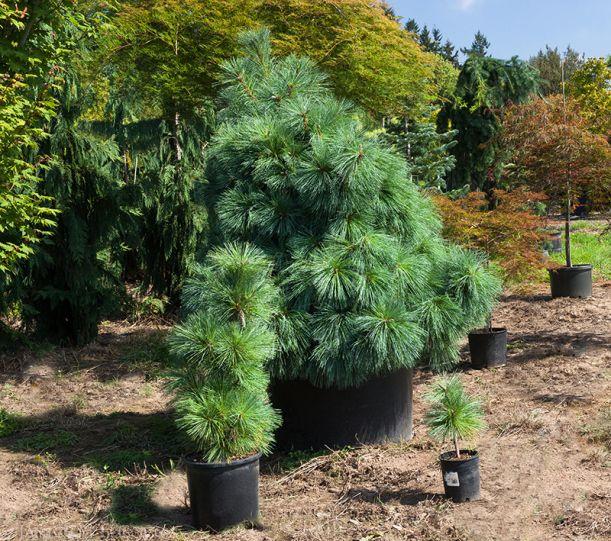 Pinus x schwerinii 'Wiethorst'  in three different sizes