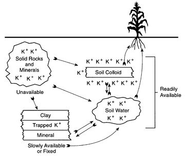 Potassium for crop production : : Nutrient management: University of Minnesota Extension