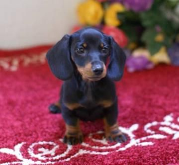 Weiner Dogs For Sale In Wisconsin