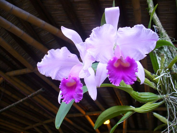 """The national flower of colombia is this beautiful """"Catleya Orchid"""" that grow in the mist of our mountains!"""