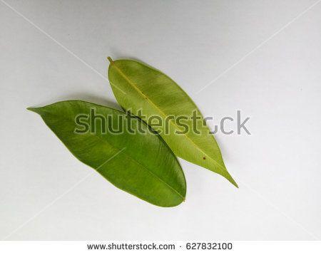 agarwood leaves