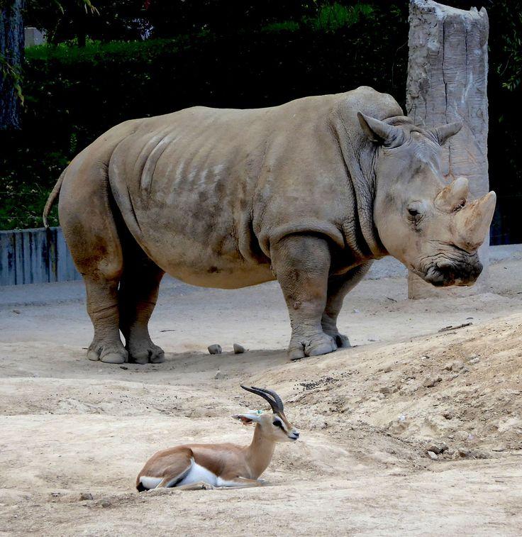 African black rhinoceros or hook-lipped rhinoceros. They share this meadow with dorcas gazelles. Instalación de rinoceronte africano o rinoceronte negro. Comparten pradera con las gacelas dorcas..
