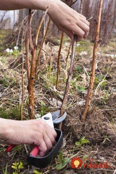 """Maliny sú stále vzácnejšie. Ak pestujete na svojom pozemku, mali by ste vedieť, ako sa o ne postarať aj potom, ako vám priniesli úrodu. Mnohí záhradkári si neuvedomujú, aký dôležitý je v prípade malín letný rez po zbere úrody. Bez neho kríky zostarnú, vyčerpajú sa a dokonca sa môžu celkom """"udusiť"""" a prestať rodiť. Rez..."""