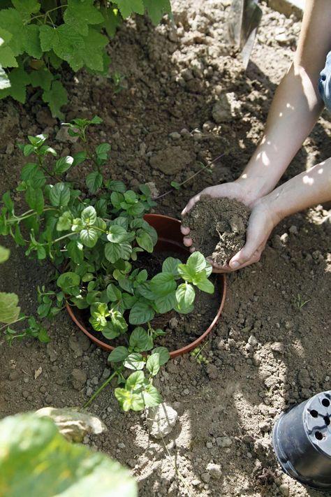 Minzen sind beliebte Kräuter, aber leider ziemlich ausbreitungsfreudig. Mit einem großen Topf ohne Boden halten Sie die Pflanzen im Garten im Zaum.