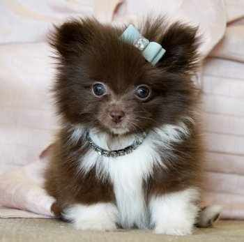 Brown And White Pomeranian Puppy Brown and white ...