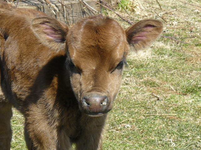 miniature jersey cow for sale