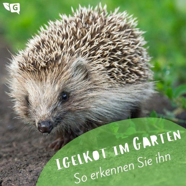 Igelkot Erkennen Wie Sieht Der Kot Aus Gartendialog De Igel Im Garten Igel Kot