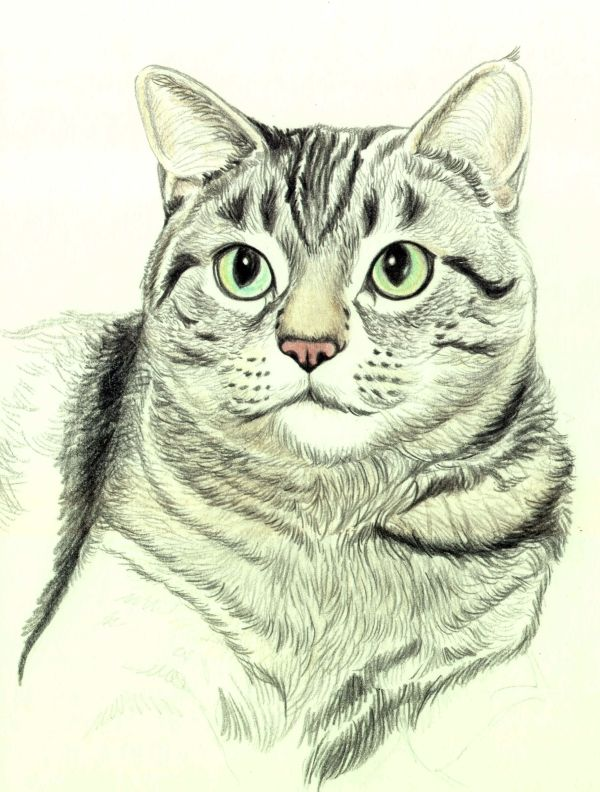How to Draw a Cat in Colored Pencil: Draw a Cat - Continuing Texture and Details