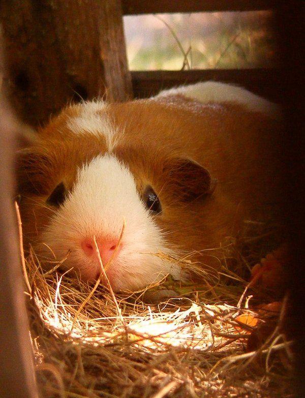 Lazy day by ~LadyAyslinn on deviantART - awww that's one happy looking guinea-piggie :3