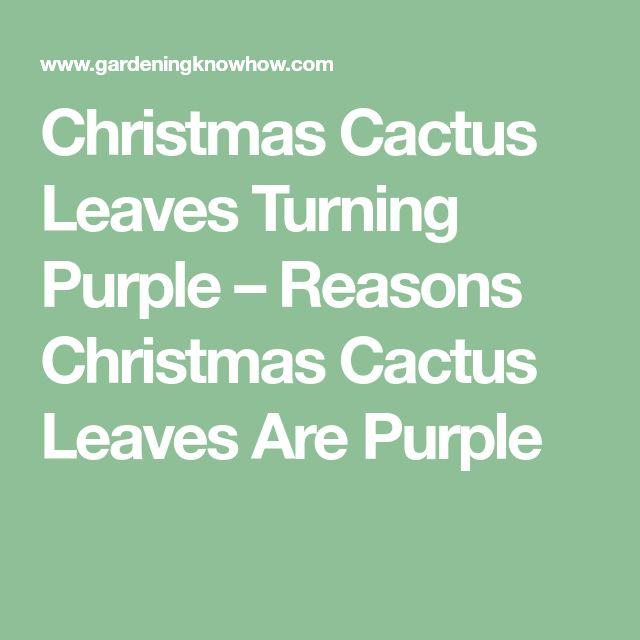 Christmas Cactus Leaves Turning Purple – Reasons Christmas Cactus Leaves Are Purple