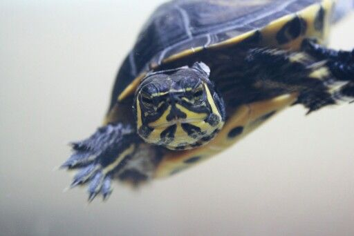 His name is Zorro and he is the yellow-bellied slider (Trachemys scripta scripta).