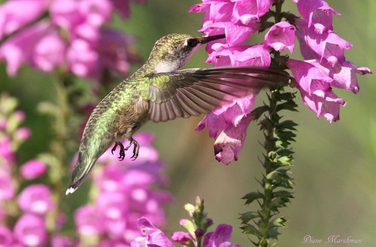 Ruby Throated Hummingbird Photo by Diane Marshman — National Geographic Your Shot
