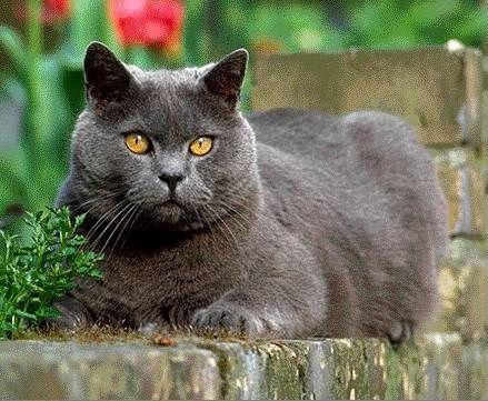 Gato britanico de pelo corto