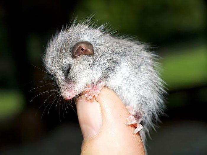 Not Everything In Australia Is Out To Kill, Meet Our Pygmy Possum by forarainyday.