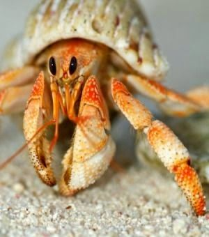 Hermit Crab -Five Small Pets For Sale That Will Steal Your Heart. Read more: http://whatwomenloves.blogspot.com/2015/01/five-small-pets-for-sale-that-will.html