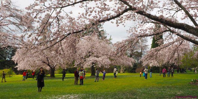 2015 Vancouver Cherry Blossom Festival Sakura Days