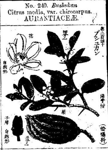 仏手柑  cédrat, Citron   Citrus medica var. sarcodactylus