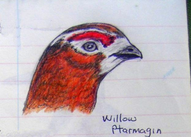 Willow Ptarmigan, color pencil & ball ponit pen, 1993