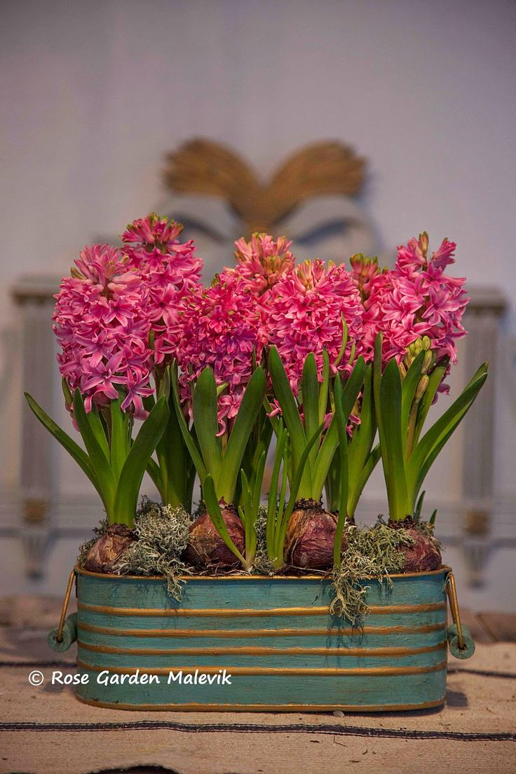 Force hyacinths at Christmas!