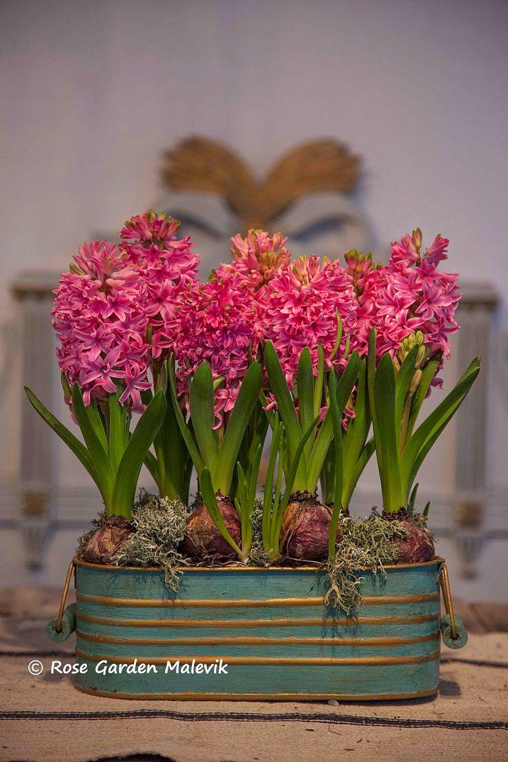Force hyacinths at Christmas!