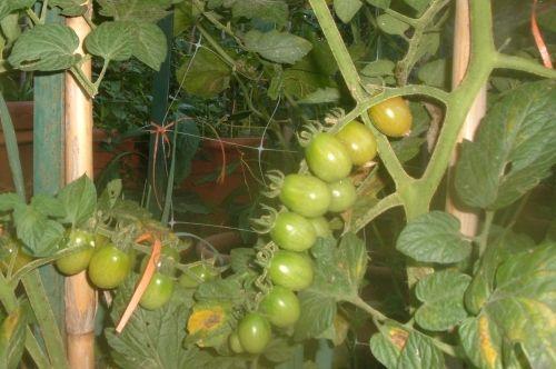 Grappoli con pochi pomodori, come migliorare l'allegagione