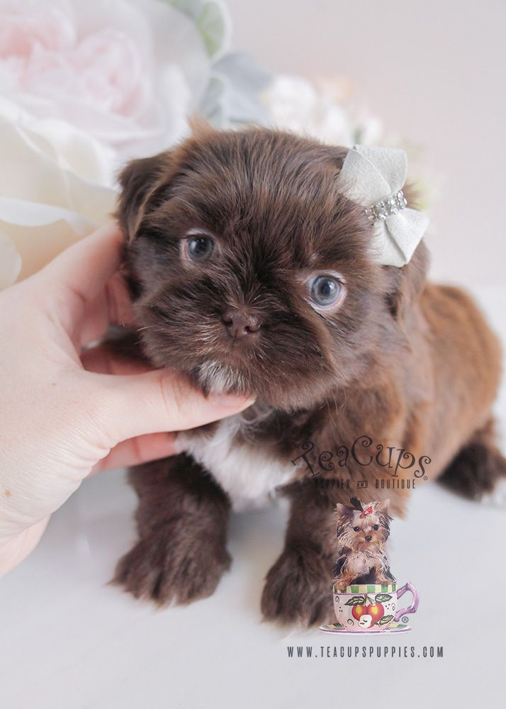 Puppy For Sale 088 South Florida Chocolate Shih Tzu