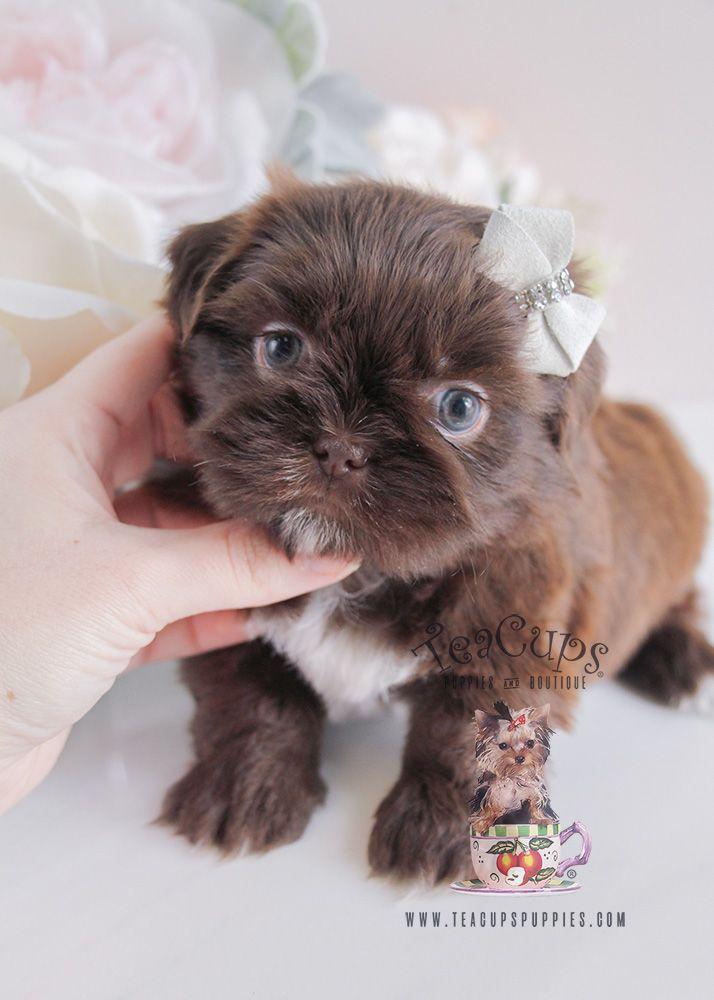 Puppy For Sale 088 South Florida Chocolate Shih Tzu Teacup Puppies Shih Tzu Chihuahua Mix