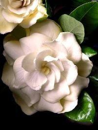 A gardênia é uma planta arbustiva, de textura semi-lenhosa, com ramos eretos, ramificados e folhas perenes. Sua altura média é de 1,5 a 2 metros de altura. Suas folhas são brilhantes, coriác...