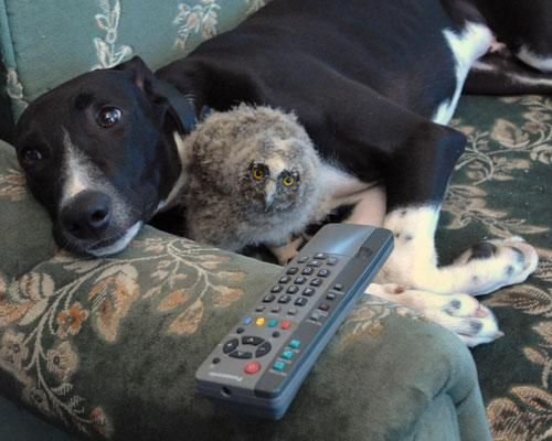 Torque, a grehound, adopted Shrek the owl as his own daughter and is extremely protective of her.