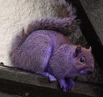 Purple squirrel - love it - we have white ones in Queenstown and all black ones in Stevensville - they're quite a sight!