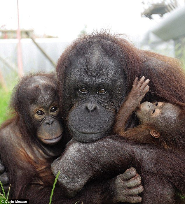 Hsiao-quai and her son Jin and adopted daughter Awan - Hsiao-quai was smuggled from the wild before she was rescued by the Taiwanese Authorities. She was found abandoned with a young male orang-utan in front of a private park in Pingtung City, Taiwan. Now lives at Monkey World (monkeyworld.org) When Awan's mother didn't care for her after her birth Hsiao-quai took over!