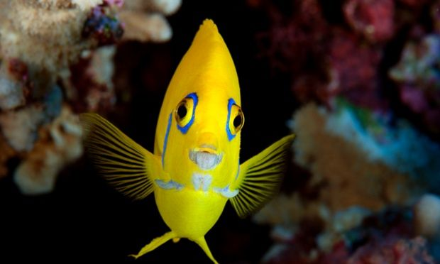 A lemonpeel angelfish (Centropyge flavissima), spotted at Henderson Island, is part of a unique marine ecosystem discovered by the National Geographic Pristine Seas expedition to the Pitcairn Islands. Photograph: courtesy of Enric Sala/NG/Pristine Seas