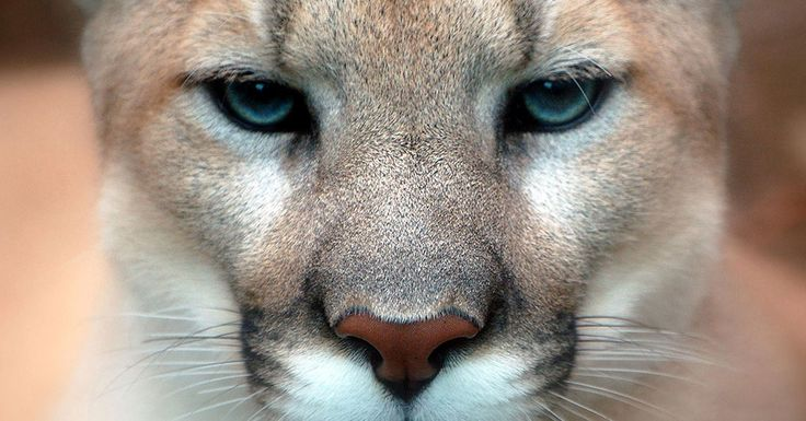 """This Big Cat, Once Widespread Throughout The Eastern U.S., Has Been Declared Extinct 