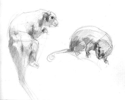ringtail possums 4