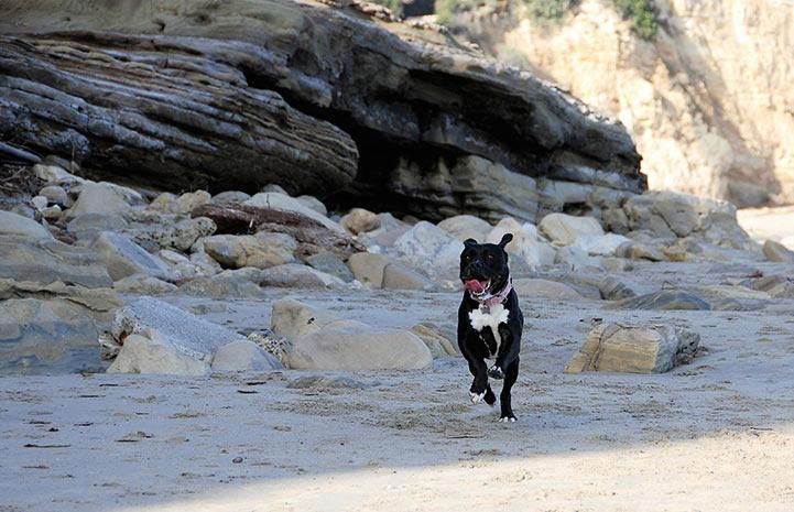 No one can say what had happened in her past that caused Roxy to be so fearful, but when she first landed at Karma Rescue, Roxy was so frightened, shelter staff had to carry her outside.  These days, Roxy can be found frolicking on the beach or snuggling with her new family's cats. Don't miss her heartwarming transformation tale!