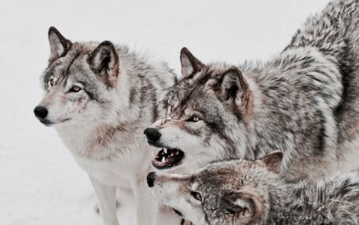 """*/\Wolf Folklore/\* In Norse mythology, Sköll (Old Norse """"Treachery"""") is a wolf that chases the horses Árvakr and Alsviðr, that drag the chariot which contains the sun (Sól) through the sky every day, trying to eat her. Sköll has a brother, Hati, who chases Máni, the moon. At Ragnarök, both Sköll and Hati will succeed in their quests."""
