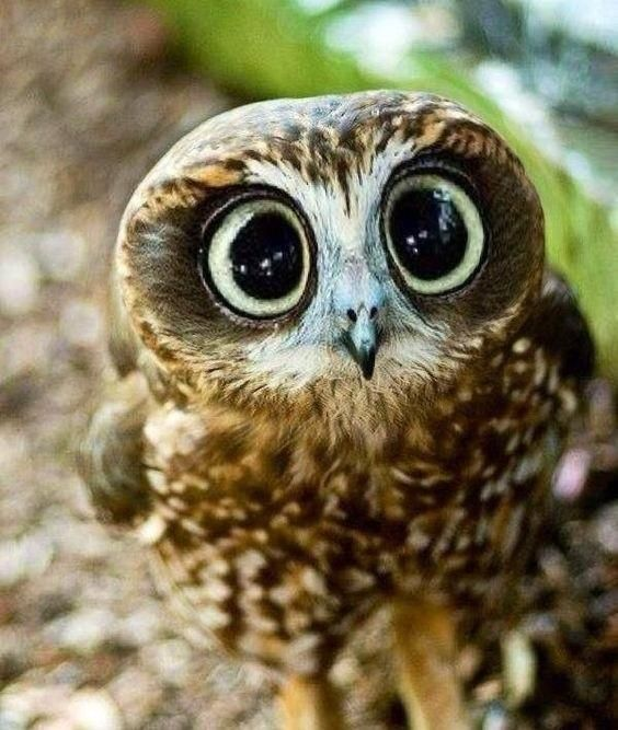 Baby owl with large cute eyes http://ift.tt/2dpBAN0
