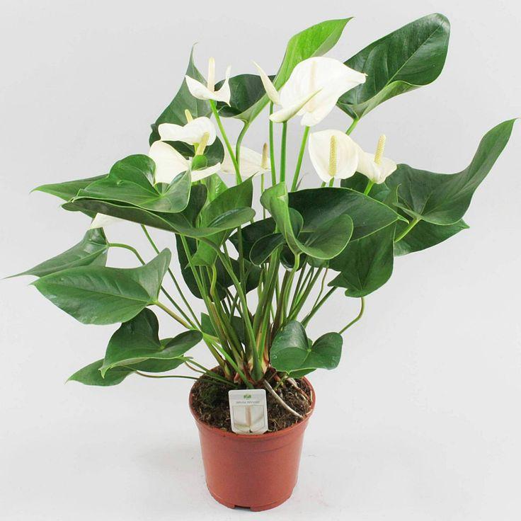 Anthurium andr. White Winner Ø17cm