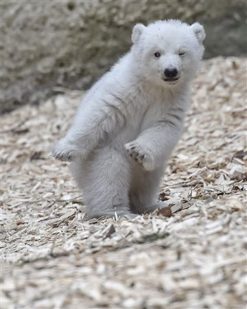 https://www.today.com/slideshow/animal-tracks-polar-bear-cub-cutest-thing-you-ll-see-t108613