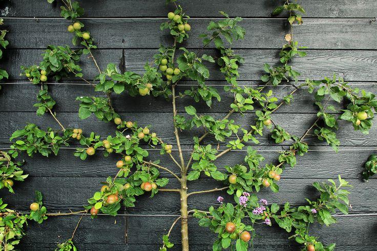 Een leifruitboom tegen een schutting.